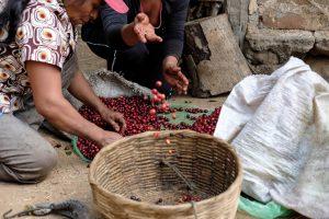 Harvest Season 2 2 Finca Patagonia - El Salvador
